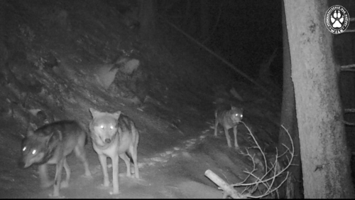 Wolves caught on trapcamera