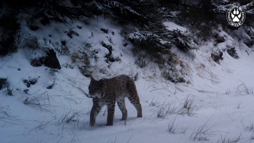 Lynxes from the seminar area.