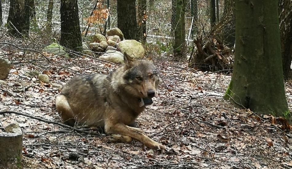 Wolf rescue mission / Akcja ratunkowa wilka