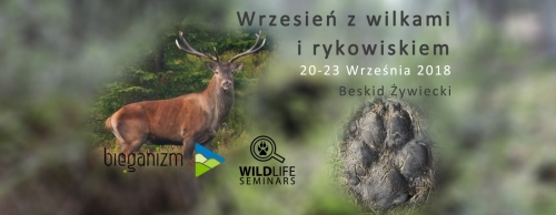 Wilcze tropienia podczas rykowiska / Wolf tracking during the rut